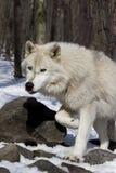 arktyczny wilk Obrazy Stock