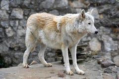 Arktyczny wilk lub biegunowy białego wilka portret zdjęcia stock
