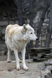 Arktyczny wilk lub biegunowy bia?ego wilka portret zdjęcie royalty free