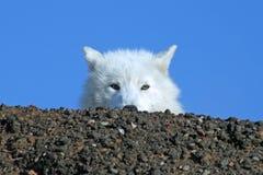 Arktyczny wilk na Śnieżnym szczycie Fotografia Royalty Free