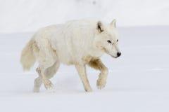 Arktyczny wilk na grasującym dla jedzenia Zdjęcia Royalty Free