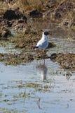 arktyka tern Fotografia Stock