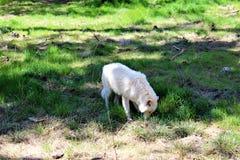 arktyka wilk zdjęcie stock