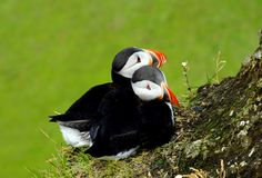 Atlantic puffins. This photo was taken in South Iceland at Dyrholaey cliff stock images