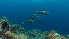 Arlecchino Sweetlips su una barriera corallina Fotografie Stock Libere da Diritti