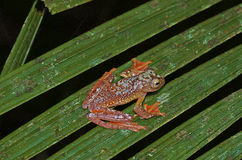 Arlekińska drzewna żaba zdjęcia royalty free