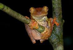 Arlekińska latająca żaba fotografia royalty free