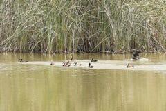 Arlekińskie kaczki Obrazy Royalty Free