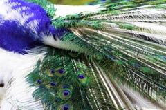 Arlekińscy pawi piórka Zdjęcie Stock
