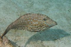 Arlekiński filefish Zdjęcia Stock