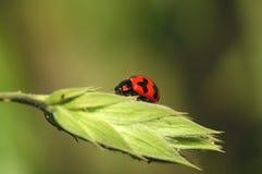 arlekiński ladybird fotografia stock