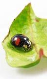 Arlekiński ladybird Zdjęcia Stock