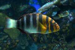 Arlekin Tuskfish, Choerodon fasciatus - tropikalna denna ryba Zdjęcia Royalty Free