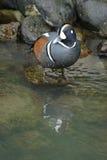 Arlequín Duck Male Foto de archivo libre de regalías