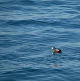 Arlequim Duck Swimming no oceano Fotografia de Stock