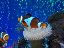 Arlequin fishes Royalty Free Stock Photo
