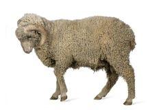 Free Arles Merino Sheep, Ram, 1 Year Old Stock Photography - 129910752