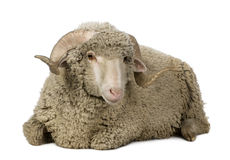 Arles Merino sheep, ram, 1 year old Stock Photography