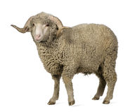 Arles Merino sheep, ram, 1 year old Royalty Free Stock Images