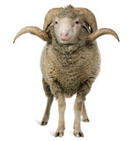 Arles Merino sheep, ram, 3 years old stock photo