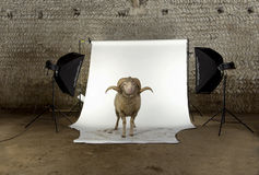 Arles Merino sheep, ram, 3 years old. Standing in photo shoot studio stock photo