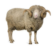Arles Merino sheep, ram, 5 years old stock photos