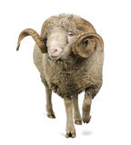 Arles Merino sheep, ram, 5 years old Royalty Free Stock Photography