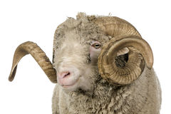Arles Merino sheep, ram, 5 years old Stock Image