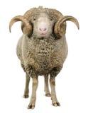 Arles Merinoschafe, RAM, 5 Jahre alt Stockfotografie