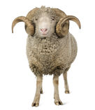 Arles Merinoschafe, RAM, 5 Jahre alt Stockfoto