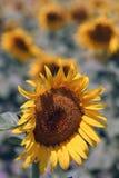 arles słonecznikowi Obrazy Royalty Free
