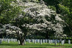 Arlington National Cemetery. White flowers on a tree hanging over the headstones in Arlington National Cemetery, Virginia Stock Photos