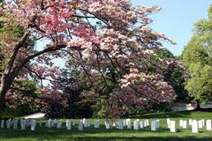 Arlington National Cemetery. Pink flowers on a tree casting shade on the tombstones in Arlington National Cemetery Royalty Free Stock Photo