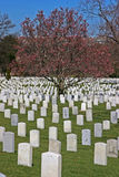 Arlington in Spring. Center of Arlington with cherry blossoms in background Royalty Free Stock Photo