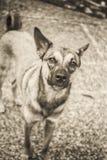 Rescue dog portait, shot on black and white film. Arlo the dog, photo taken with 1952 vintage Kodak Signet 35, 35mm film camera on Kodak Tri-X black and white Stock Photography