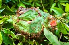 Armée des fourmis rouges construisant un nid des feuilles Images stock
