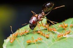 Armée rouge de fourmis Image stock