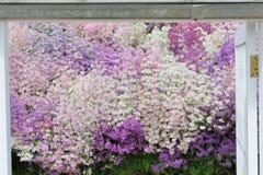 Arm bemannt Orchideen in Purpurrotem und in weißem Stockfotografie