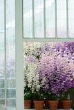 Arm bemannt Orchideen in Purpurrotem und in weißem Lizenzfreies Stockbild