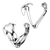 Arm bones and muscle Stock Photography