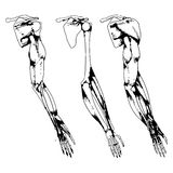 Arm bones and muscle Royalty Free Stock Photography