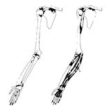 Arm bones and muscle Royalty Free Stock Images