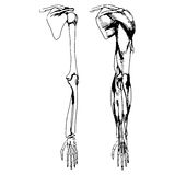 Arm bones and muscle Royalty Free Stock Image