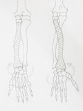 Arm bones pencil drawing royalty free stock photography
