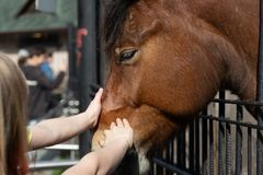 Arm child strokes horses after snout royalty free stock image