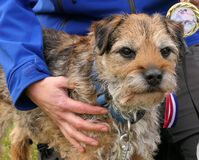Arm around border terrier stock photography