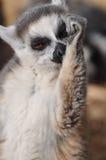 arm hans slicka för lemur Royaltyfri Fotografi