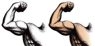 Arm with muscles. A crosshatched illustration of a flexing arm with muscles vector illustration