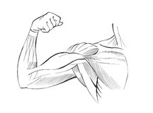 Arm muscles. Illustration, black and white vector illustration