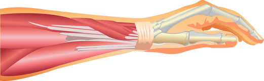 Arm muscles. Simple vector illustration of arm muscles, showing ligaments and bone from elbow to fingers Stock Image